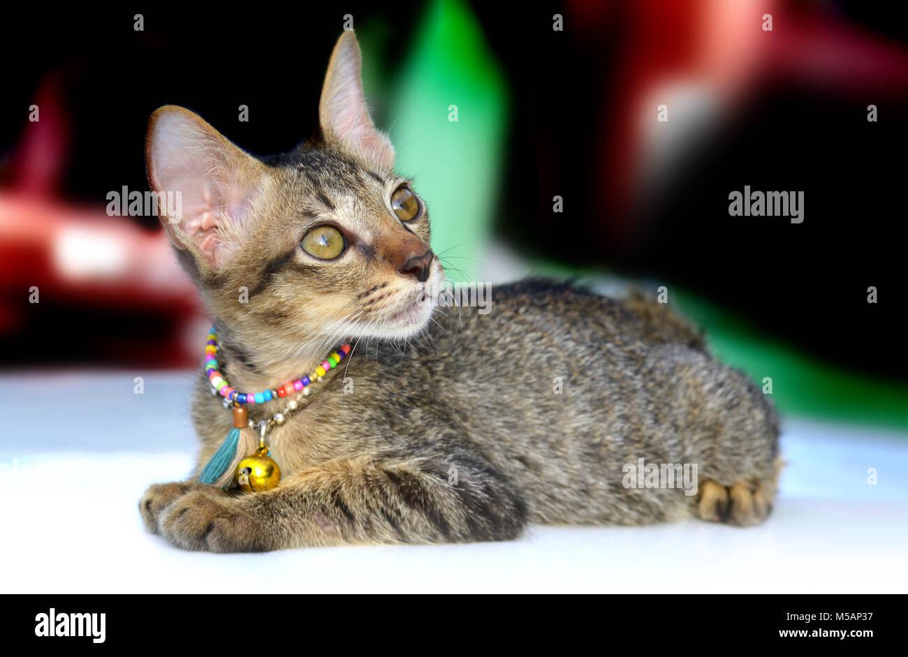 Il ritratto di thai kitty cat in tempo rilassante foto in sunset