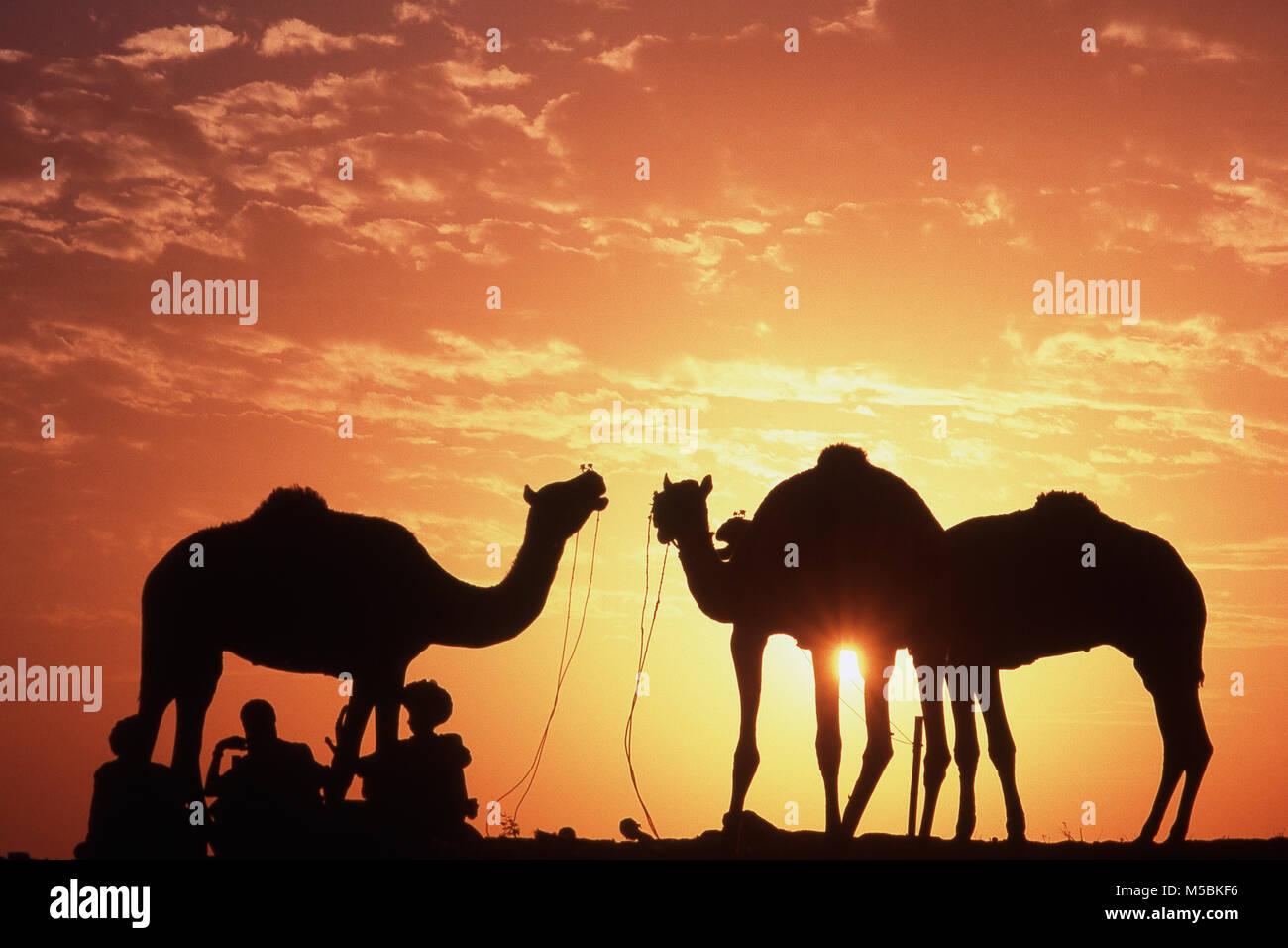 Gli uomini di Rajasthani appoggiato con il cammello, Pushkar Fair, Rajasthan, India Immagini Stock