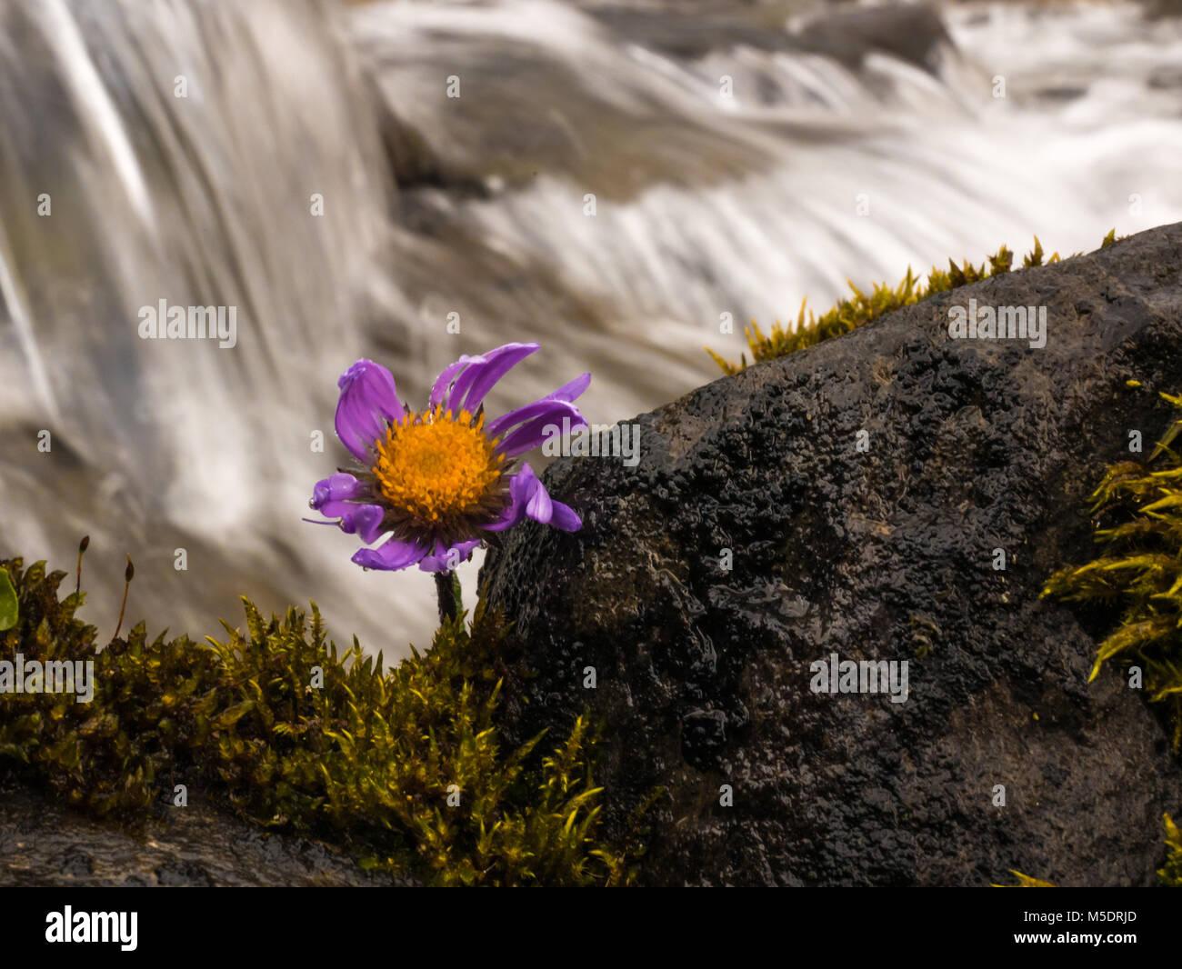 Cinese fiore accanto a un bellissimo fiume, una pietra ed erba Immagini Stock