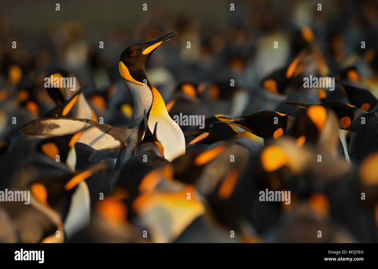 Re pinguini visualizzando il comportamento aggressivo verso un altro pinguino reale durante la stagione di accoppiamento, Isole Falkland. Foto Stock