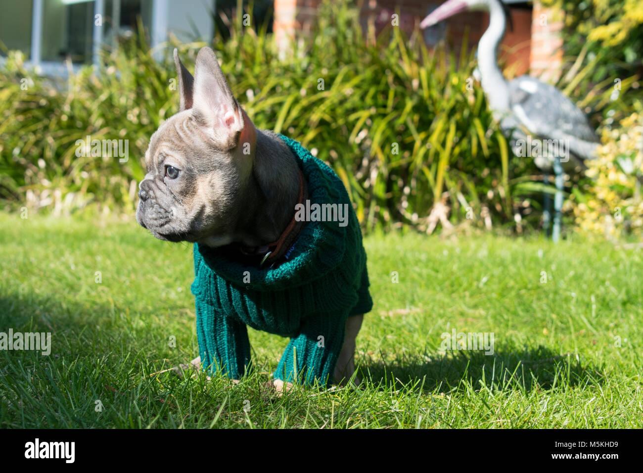 Bulldog Francese Cucciolo Indossando Un Ponticello Prendere Il
