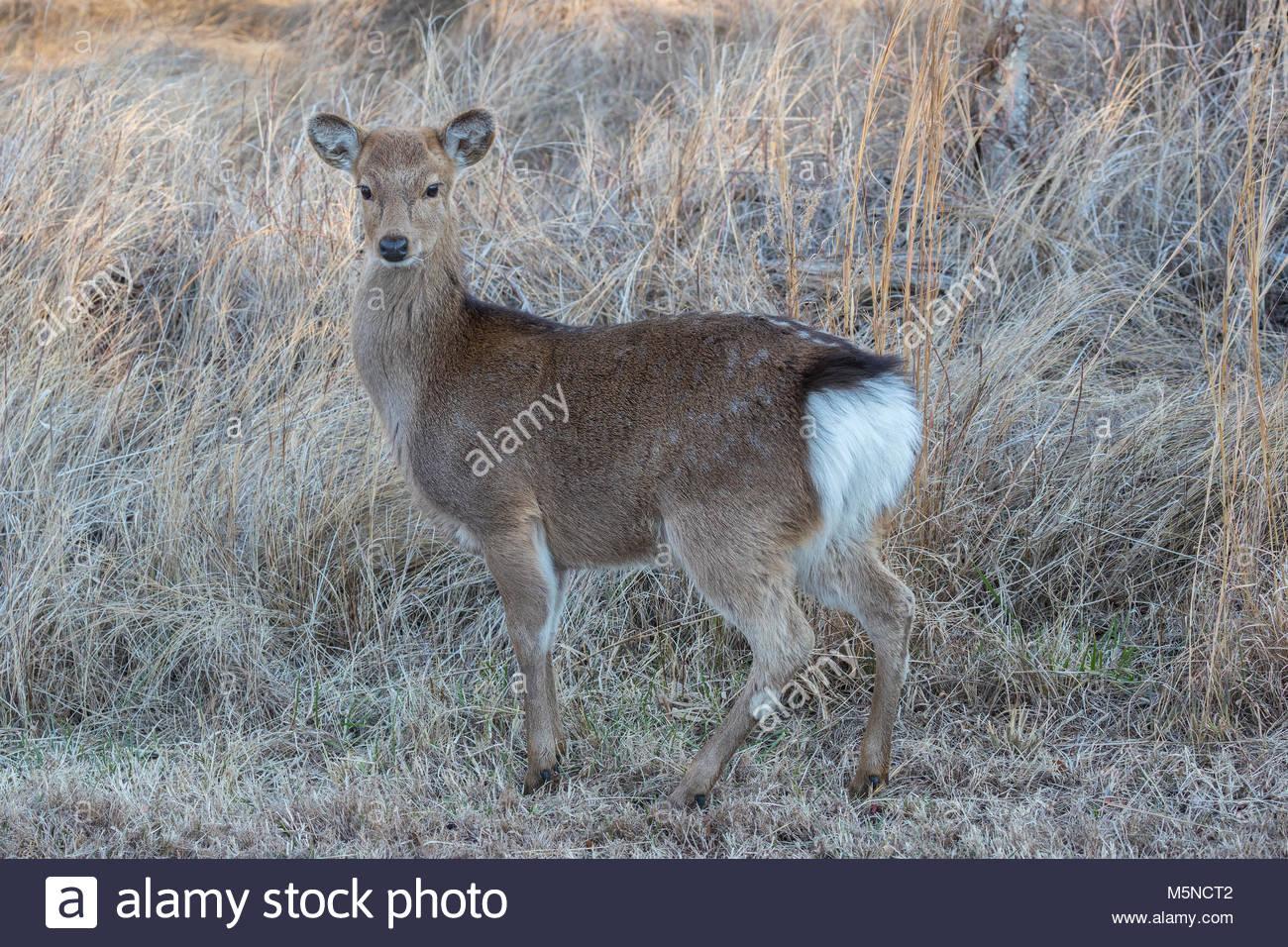 Un Sika cervo (Cervus nippon) pone in erba lungo una palude in Chincoteague National Wildlife Refuge su Assateague Immagini Stock