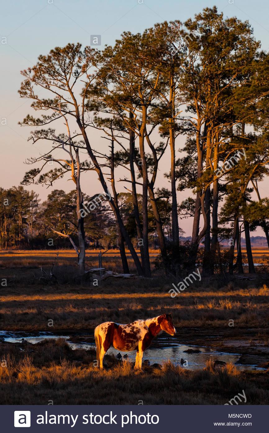 Un pony Chincoteague (Equus caballus), noto anche come un cavallo di Assateague, è illuminata dalla prima luce Immagini Stock