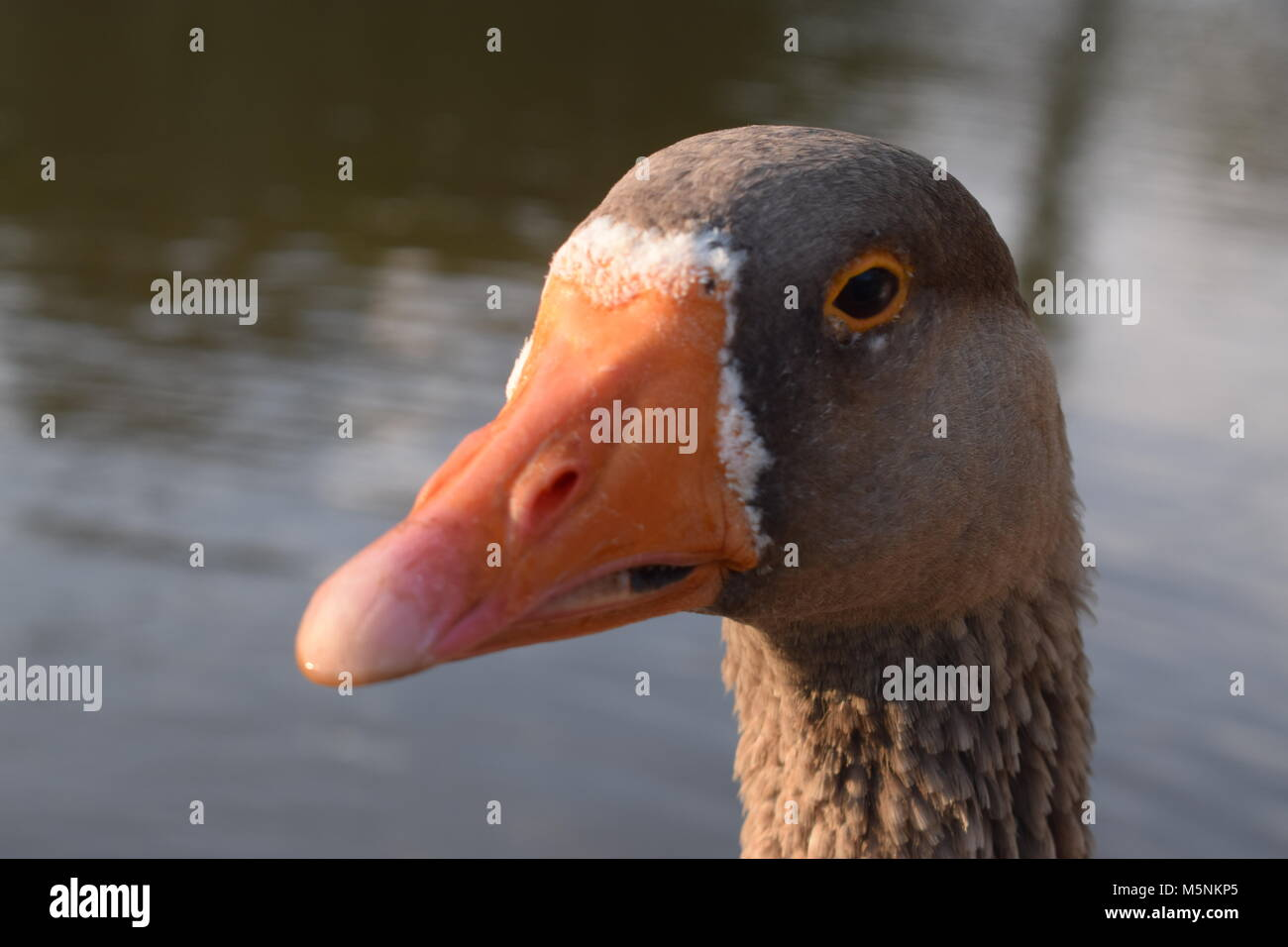 new concept d08a9 3a2d9 Becco D'anatra Immagini & Becco D'anatra Fotos Stock - Alamy