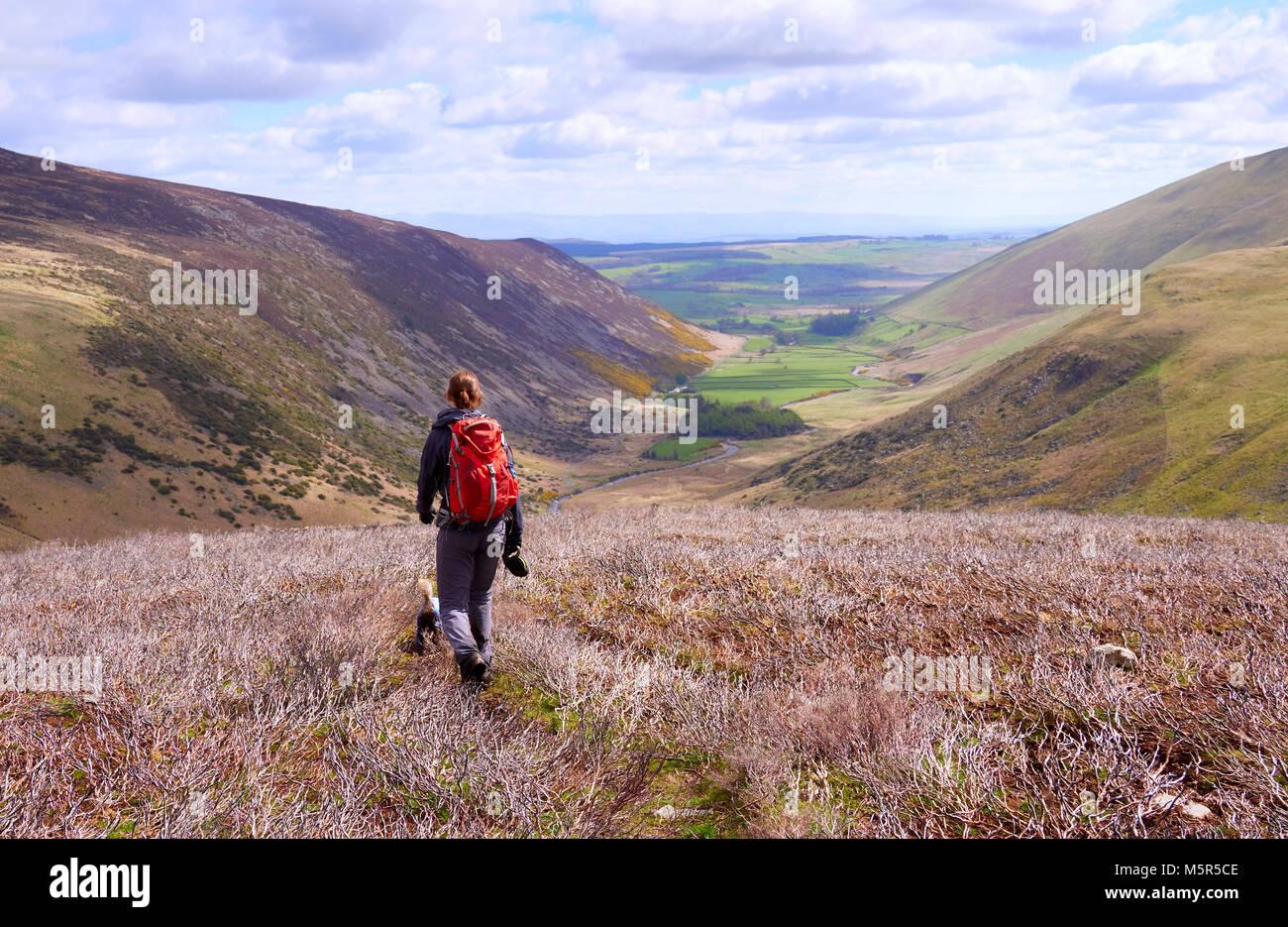 Un escursionista e il loro cane discendente da altezze Coomb verso Mosedale e il fiume Caldew nel Lake District Immagini Stock