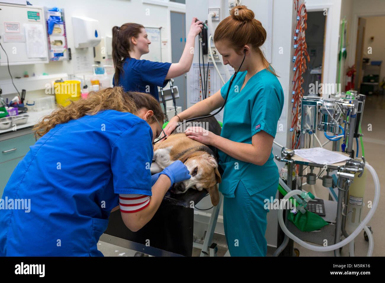 Un cane viene preparato ad un intervento chirurgico di un veterinario e infermieri Immagini Stock