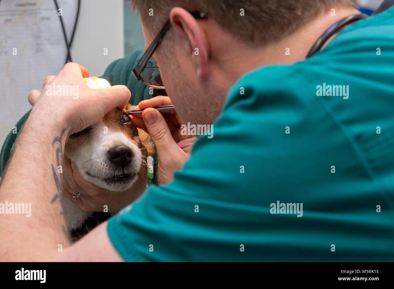 Questioni veterinarie infermiere rimuove un oggetto dall'occhio di un cane in un ambulatorio veterinario Immagini Stock