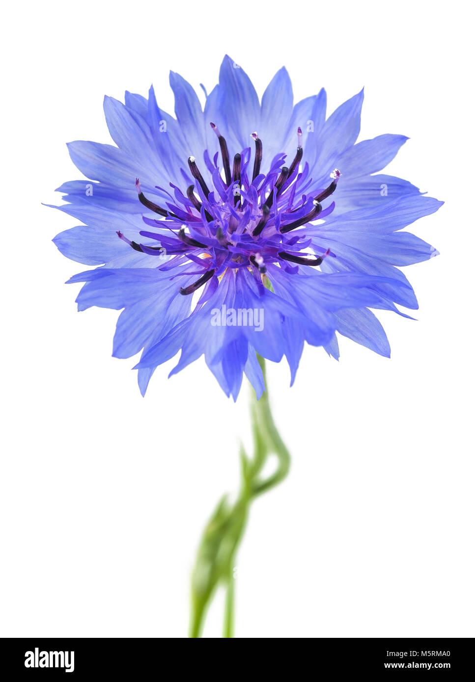 Blu fiordaliso (Cyanus segetum) isolato su sfondo bianco Immagini Stock