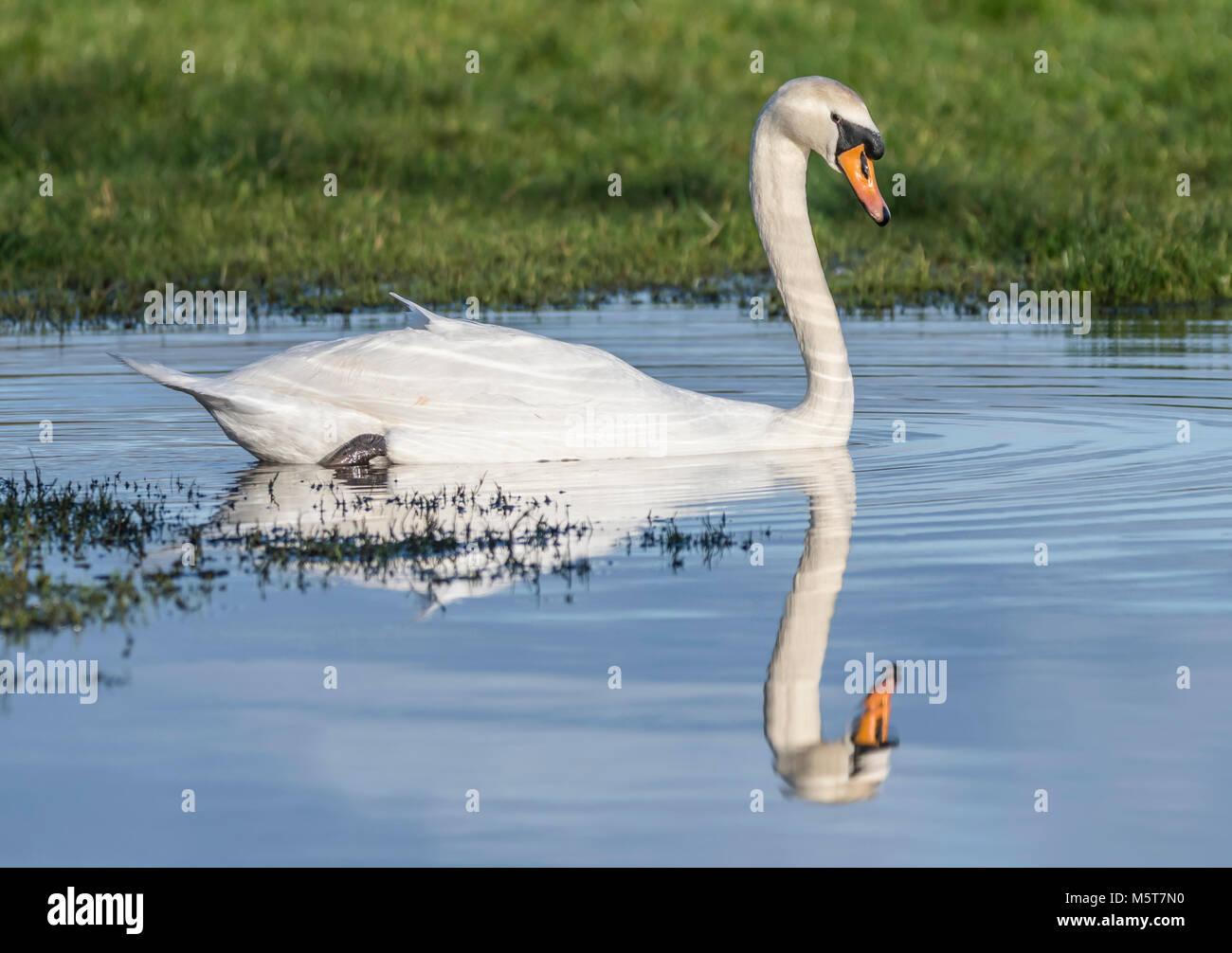 Bianco Cigno (Cygnus olor) con riflesso perfetto, vista laterale, nuoto in acqua in inverno in Inghilterra, Regno Immagini Stock