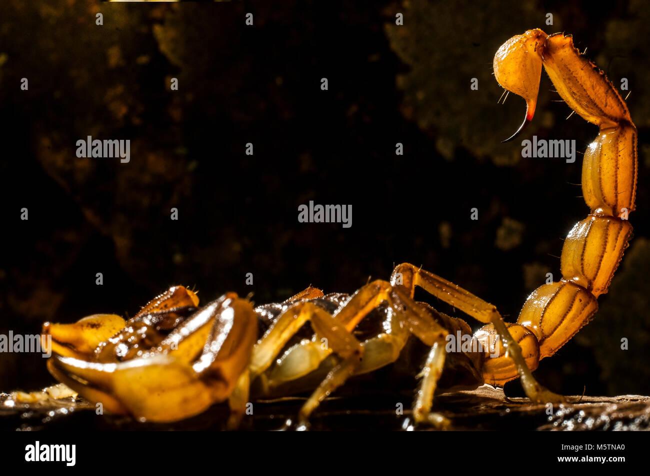 Scorpion (Buthus occitanus) poison animale, sting Immagini Stock