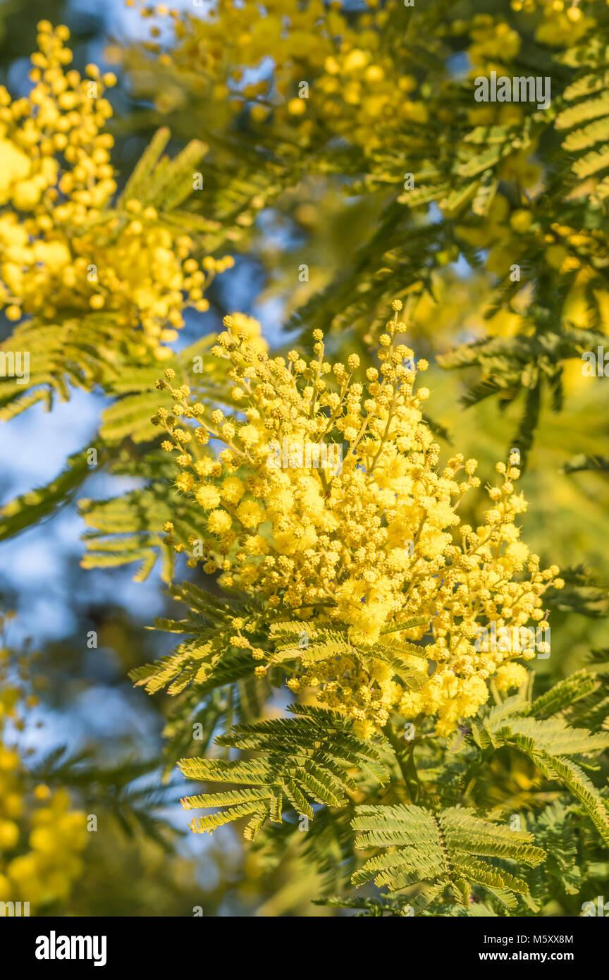 Giallo Mimosa pianta (Acacia dealbata) in inverno in Inghilterra, Regno Unito. Immagini Stock