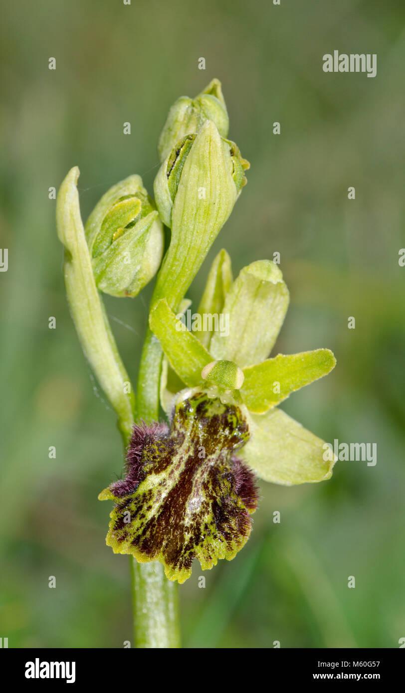 Rara forma mutante di inizio Spider Orchid (Ophrys sphegodes) spike. Sussex, Regno Unito Foto Stock