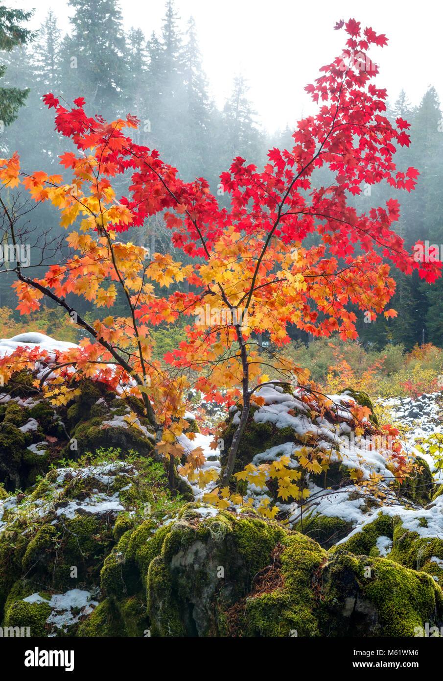 Vite Acero Acer circinatum, Santiam Trail, McKenzie River National paesaggistico e selvaggio fiume Willamette National Immagini Stock