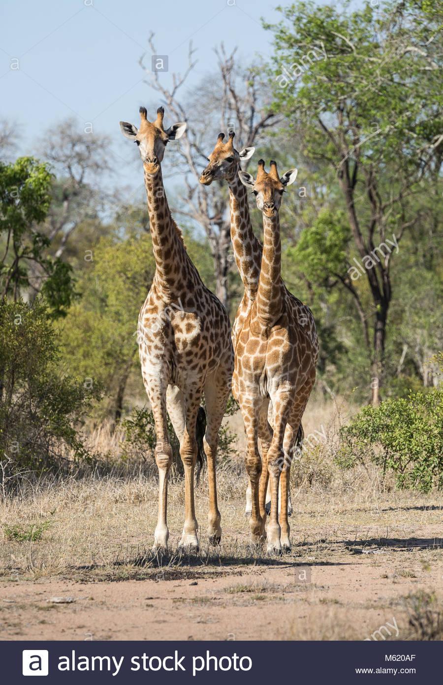 Un trio di giraffe, Giraffa, in movimento. Immagini Stock