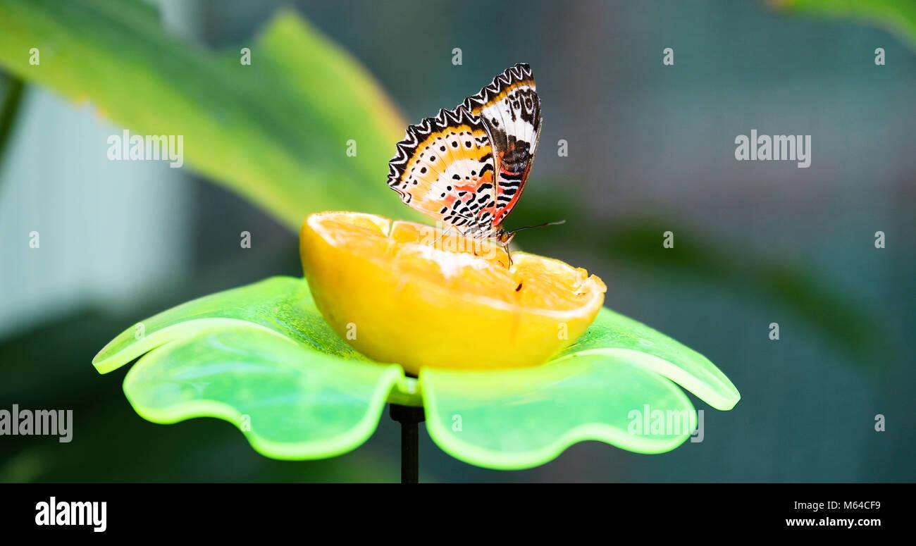 Immagine della bella farfalla colorata su limone Immagini Stock