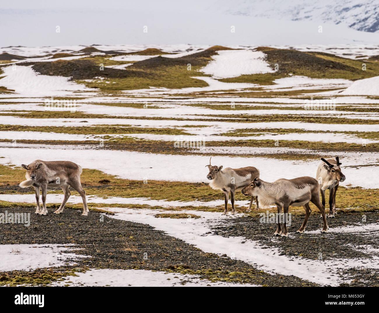 Allevamento di renne pascolare, South Coast, Islanda Immagini Stock