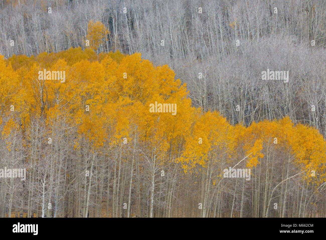 Aspen, Populus tremula, Boulder Mountain, Dixie National Forest, Utah Immagini Stock