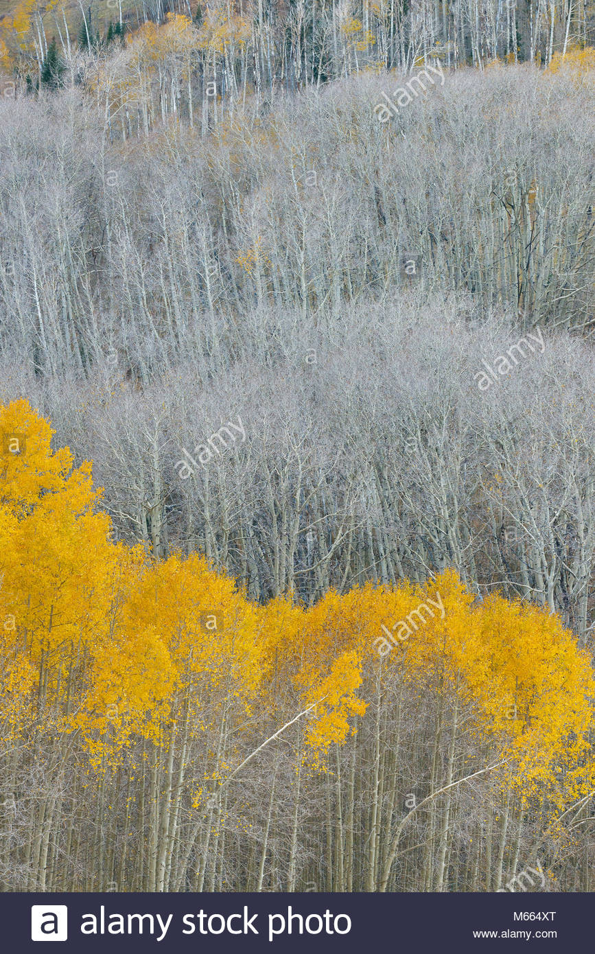 Aspen, Populus tremuloides, Boulder Mountain, Dixie National Forest, Utah Immagini Stock