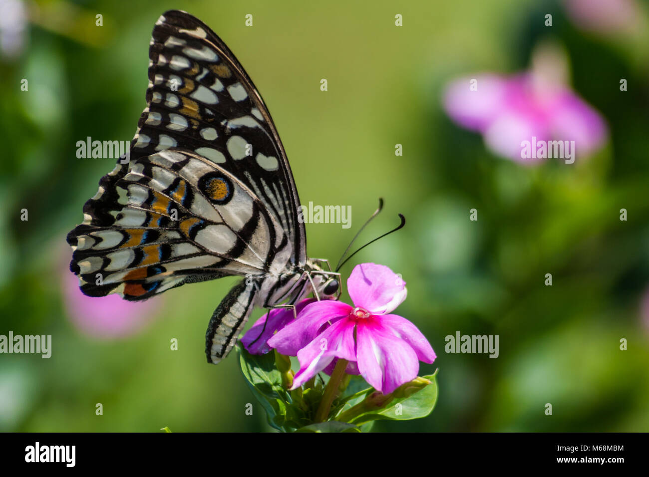 Calce comune (Papilio demoleus) farfalla intorno a Chennai, Tamilnadu, India Immagini Stock