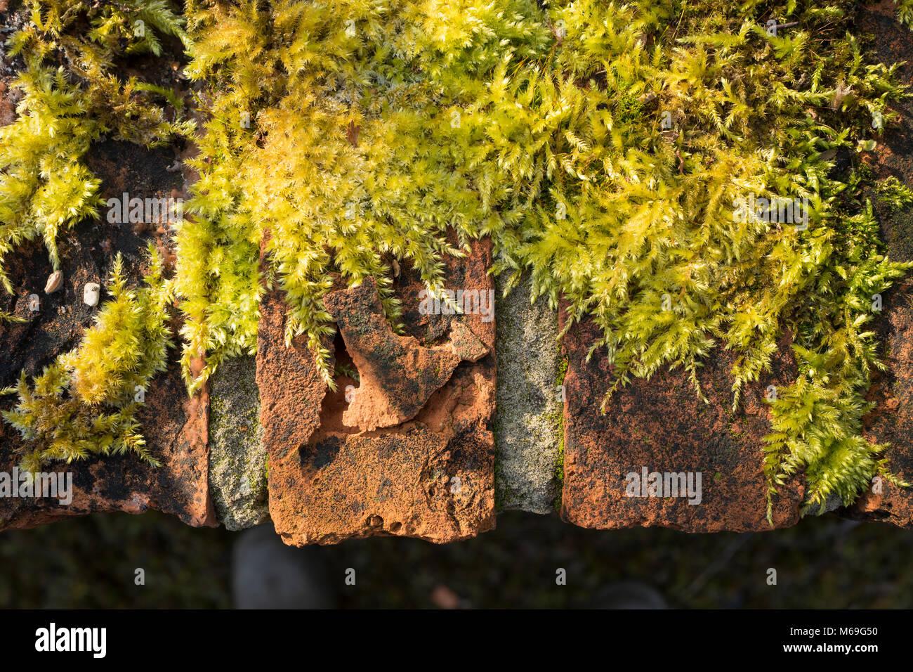 Universo sulla sommità di un muro di mattoni parzialmente coperto da vivere moss Immagini Stock