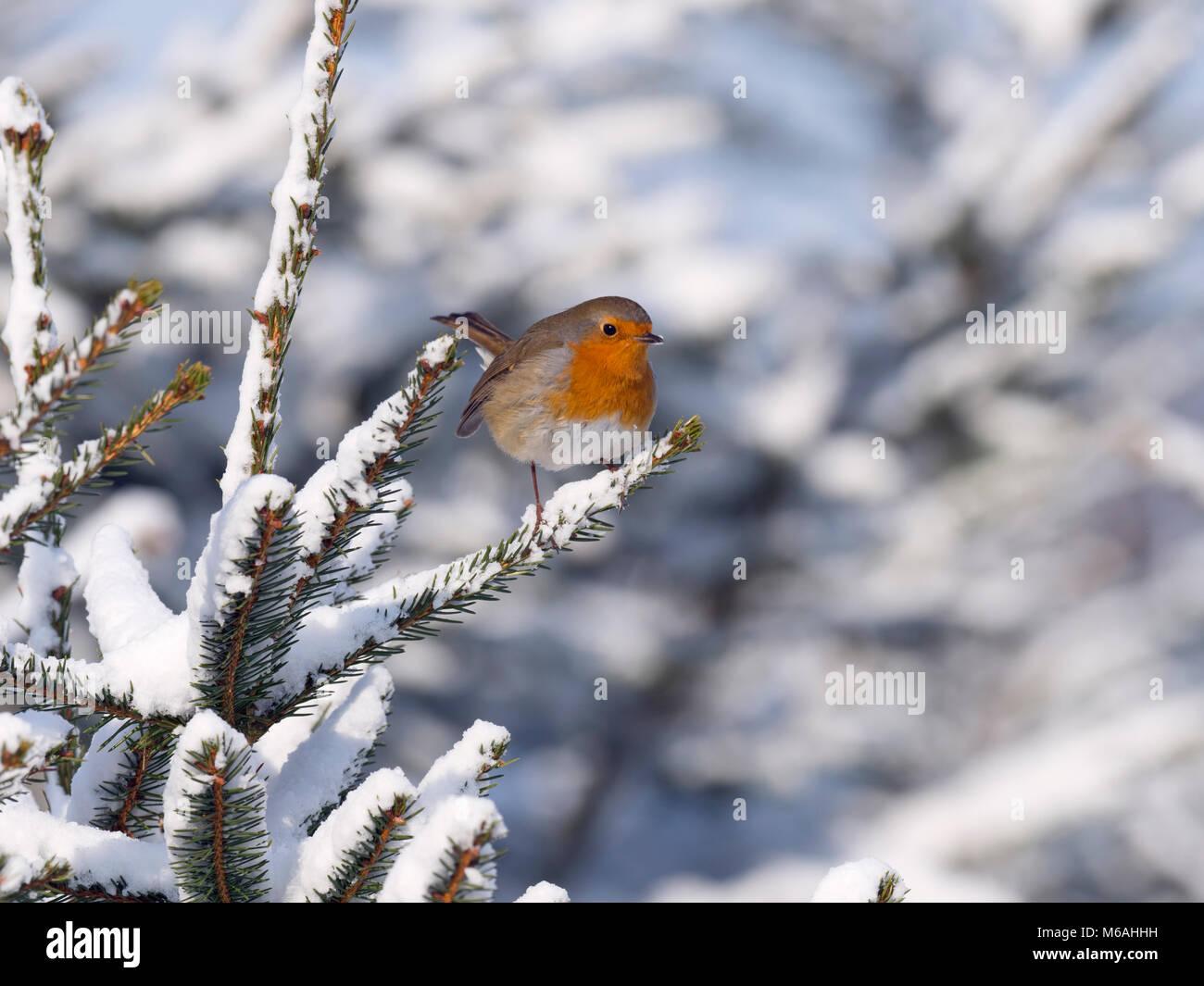 Robin Erithacus Rubecula nella neve Immagini Stock
