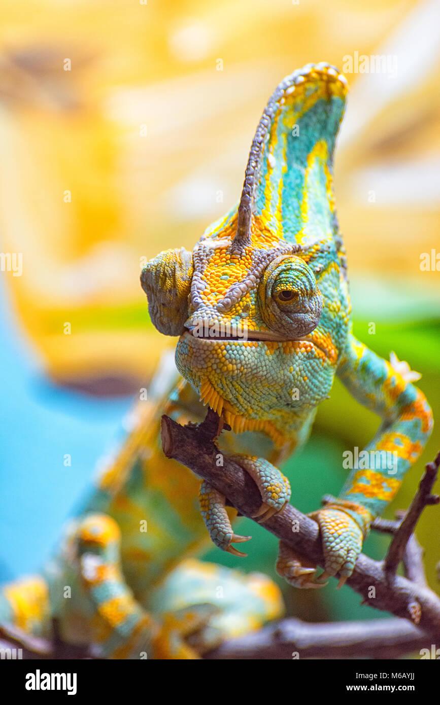 Il coloratissimo camaleonte ho Immagini Stock