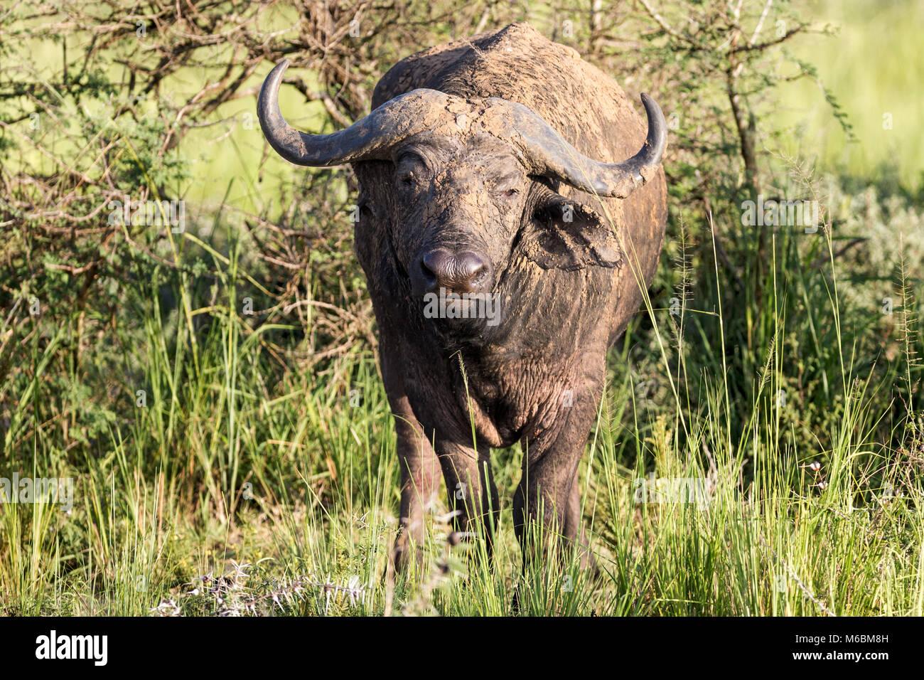 """Bull Cape Buffalo 'Murchison Cascate del Parco Nazionale"""", Uganda, Africa Immagini Stock"""