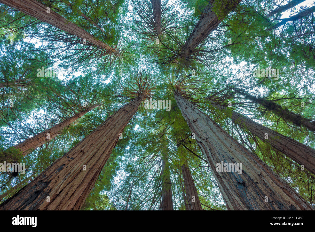 Anello della cattedrale, Redwoods, Sequoia sempervirens, Muir Woods National Monument, Marin County, California Immagini Stock