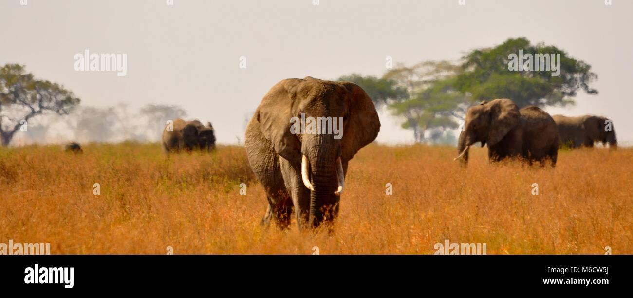 Bush Elefante africano (Loxodonta africana) cammina verso la telecamera tra una mandria . Parco Nazionale del Serengeti, Immagini Stock