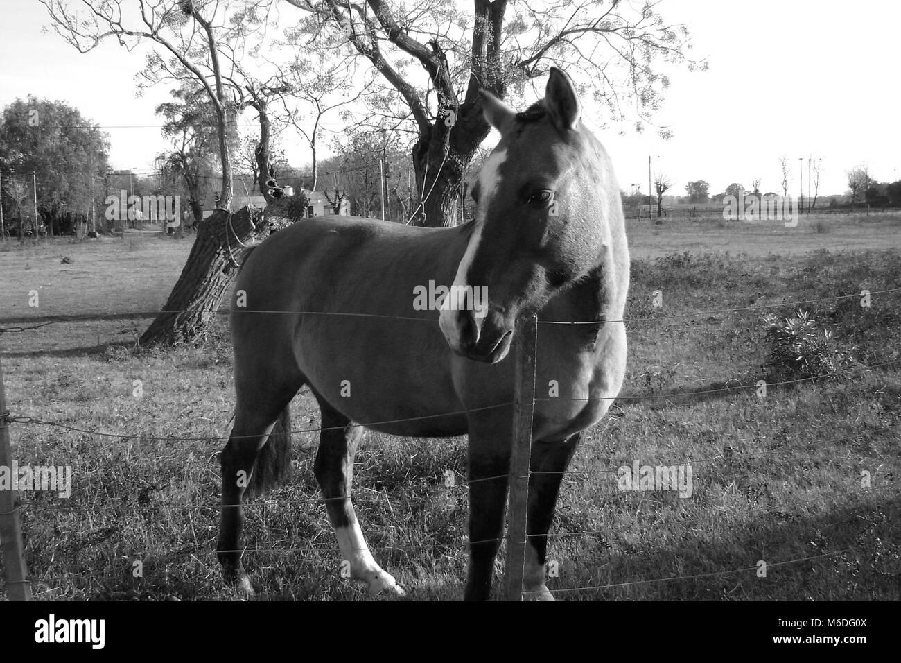 Cavalli argentini Immagini Stock
