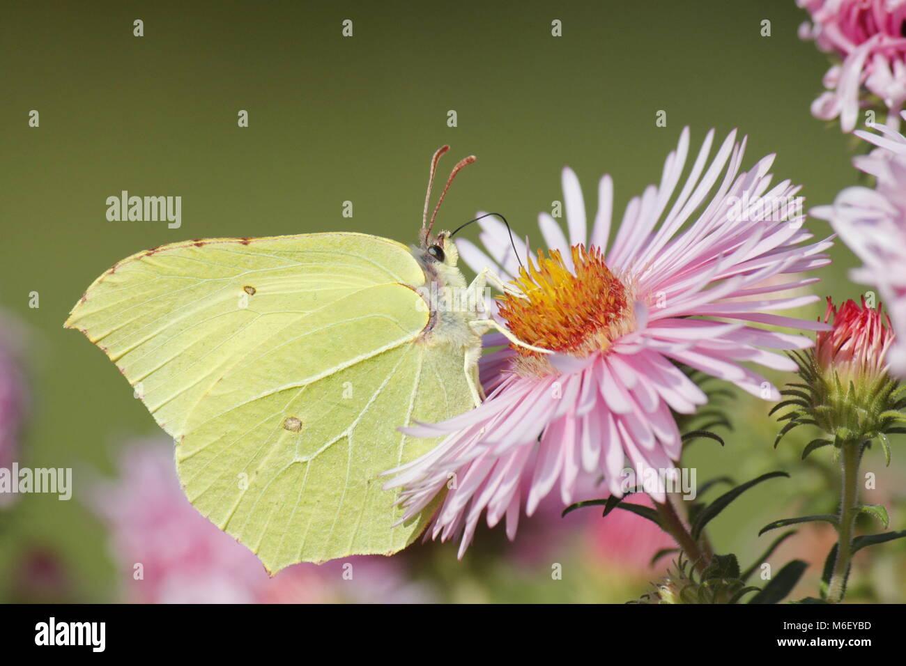 Limone butterfly a un fiore rosa Immagini Stock