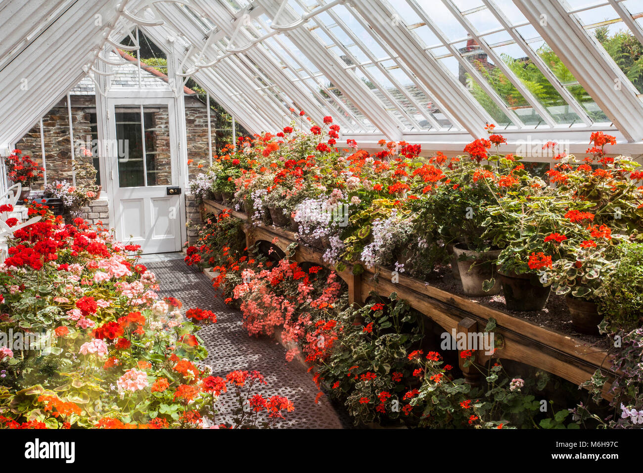 Una serra piena di pelargoniums misti alla Lost Gardens of Heligan, Cornwall Foto Stock