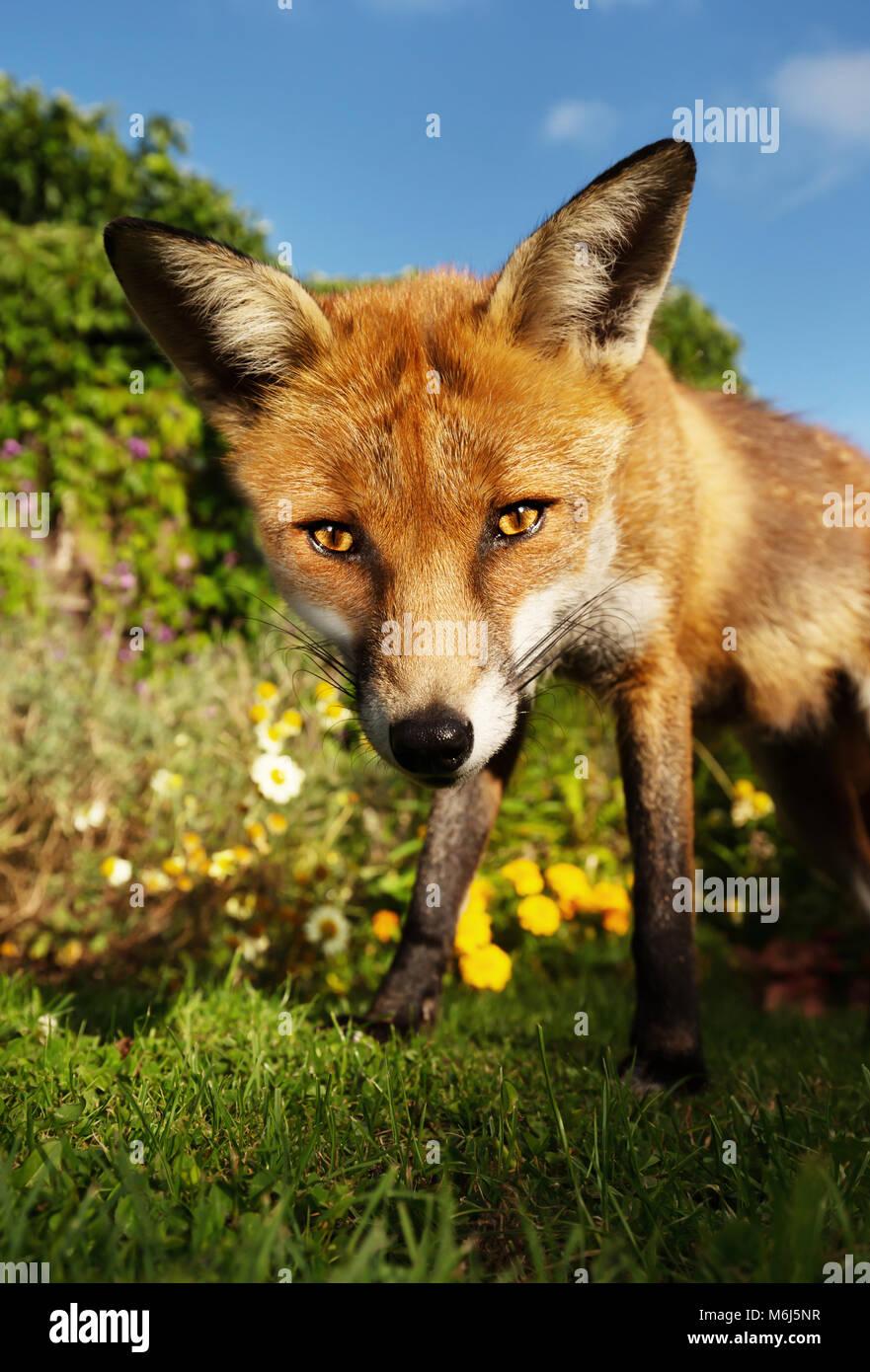 In prossimità di una volpe rossa in piedi nel giardino con fiori, estate nel Regno Unito. Immagini Stock