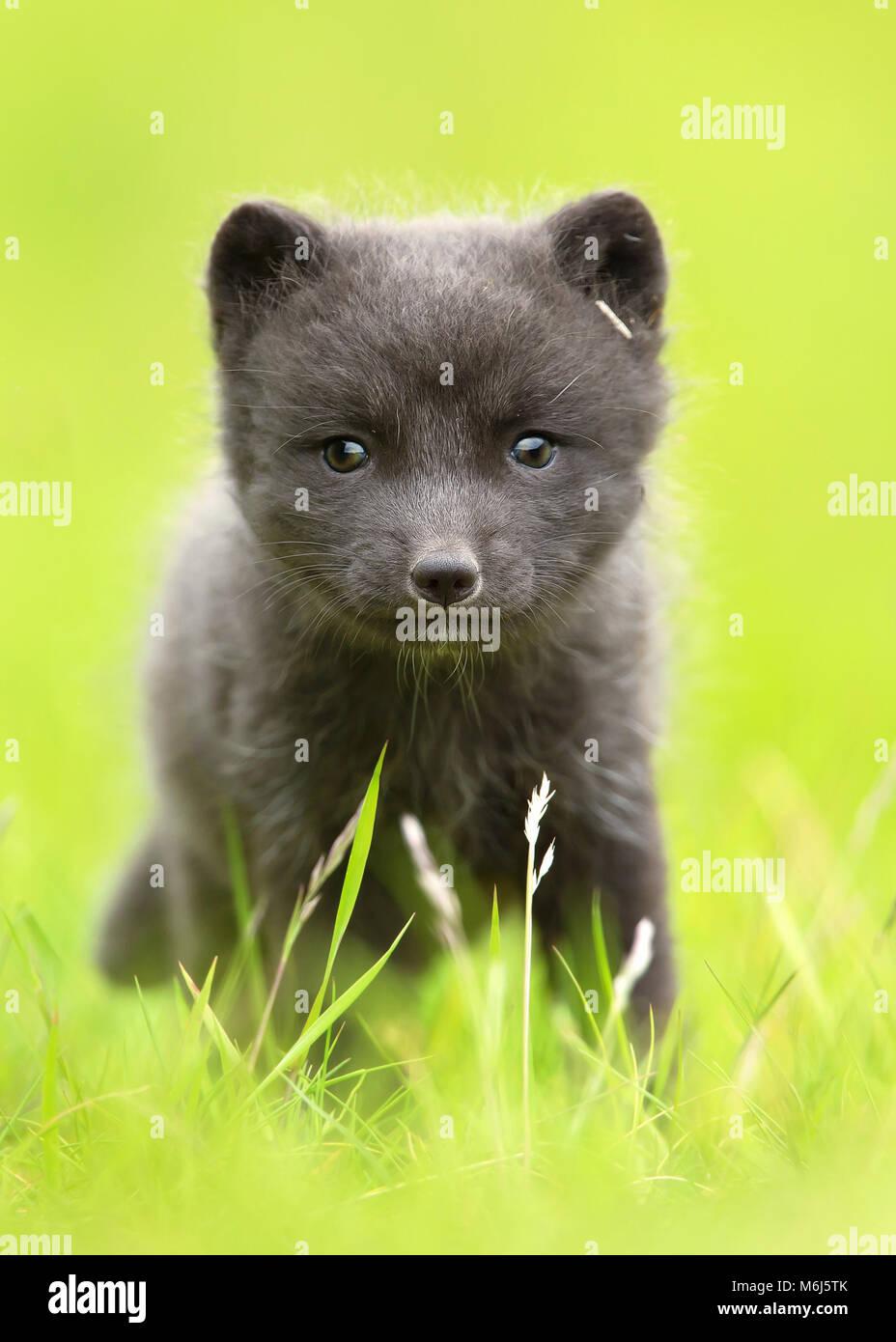 In prossimità di una volpe artica cub nel campo in erba, Islanda. Immagini Stock