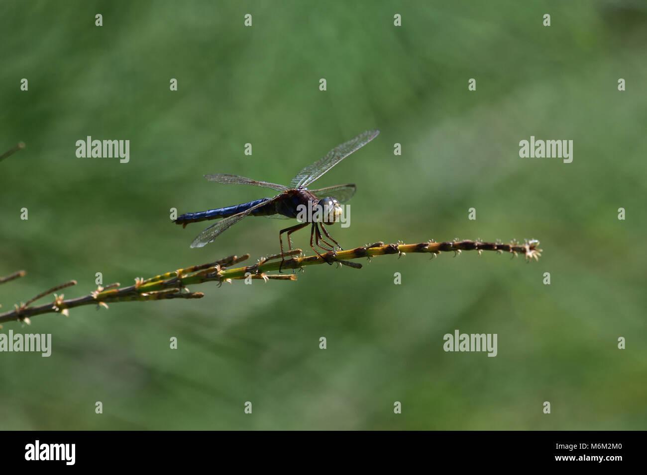 Un australiano giovane maschio a testa nera libellula Skimmer in appoggio su una pianta stelo Foto Stock