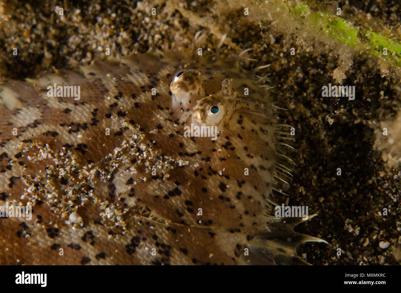 Suola Blackspotted, chiazzato suola, Aseraggodes melanostictus, Soleidi, Anilao, Filippine, Asia Immagini Stock
