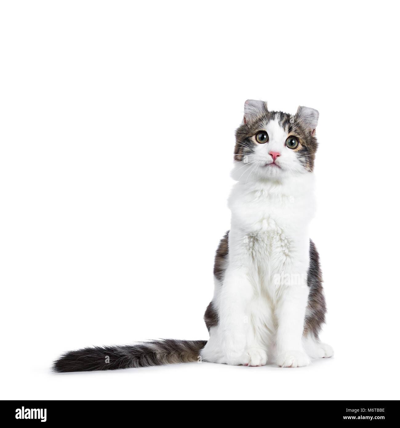Black tabby con bianco American Curl cat / gattino seduto dritto fino a coda lunga e paw sollevato isolati su sfondo bianco. Foto Stock