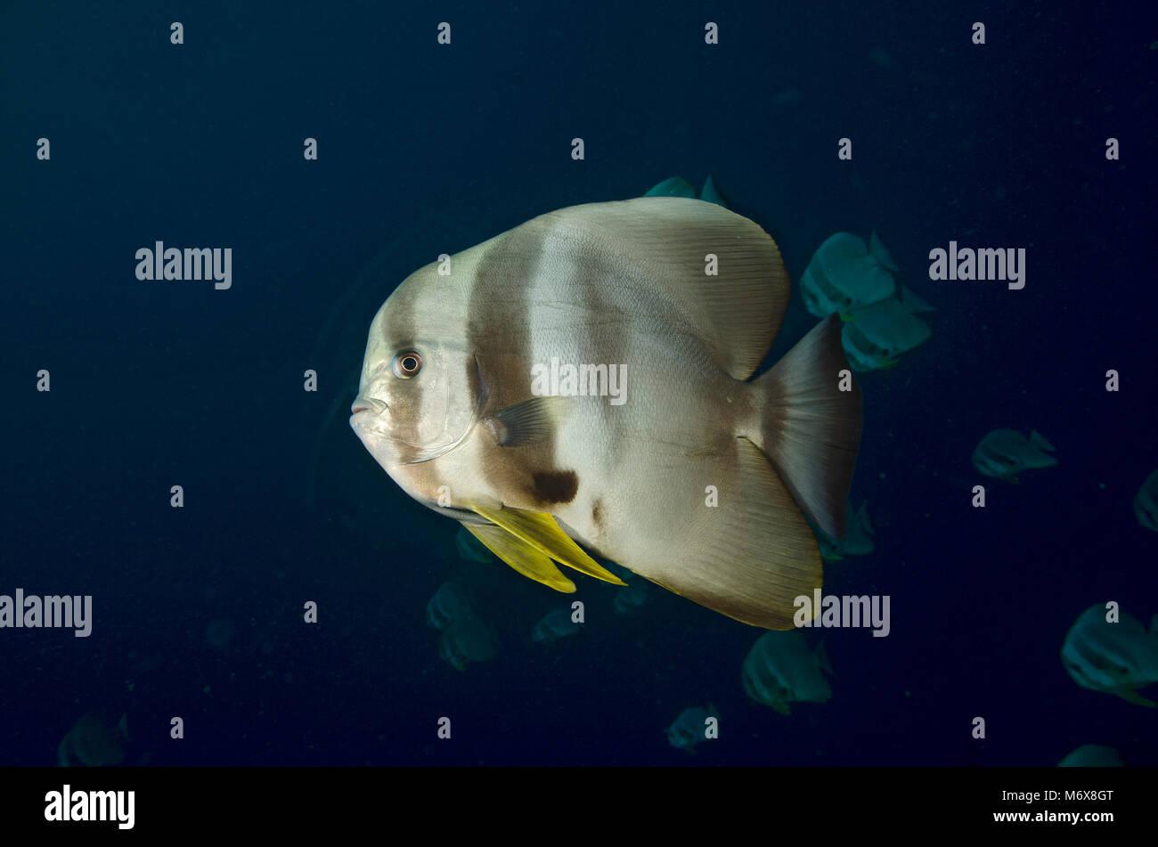 Vista laterale di un Longfin, Batfish Platax teira, Ari Atoll, Oceano Indiano, Maldive Immagini Stock