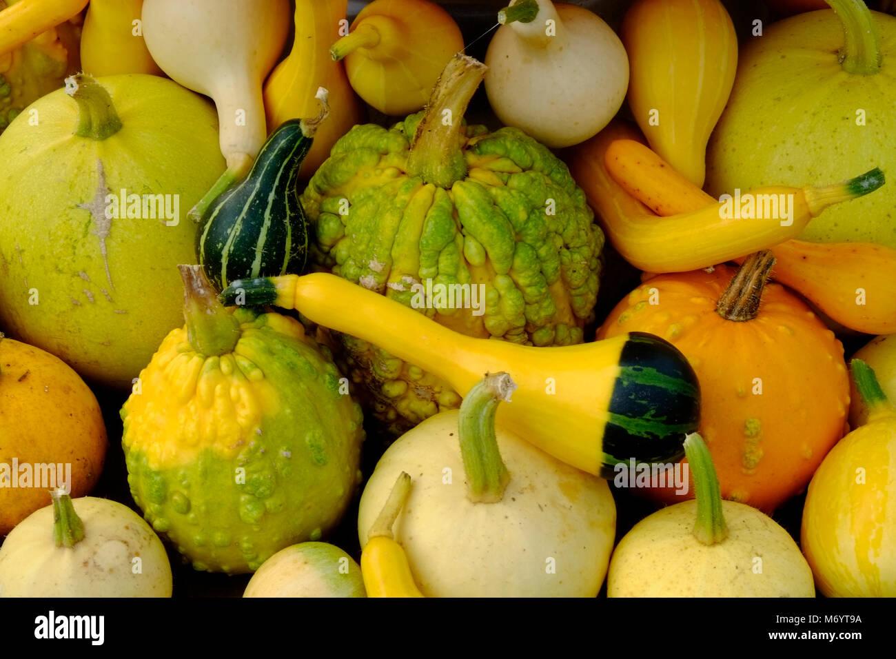 Essiccazione Zucca Di Halloween.Decorative Gourds Immagini Decorative Gourds Fotos Stock Alamy