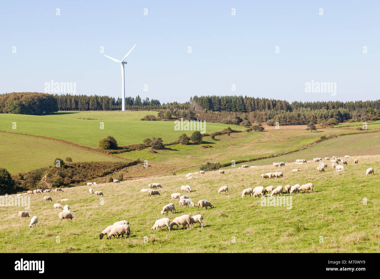 Gregge di pecore al pascolo in prossimità di una turbina eolica in campagna boscosa. Uso sostenibile delle Immagini Stock