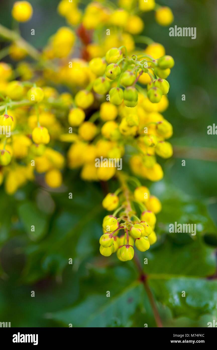 Fiori Gialli A Grappolo.Grappoli Di Fiori Gialli Di Oregon Uva Mahonia Aquifolium