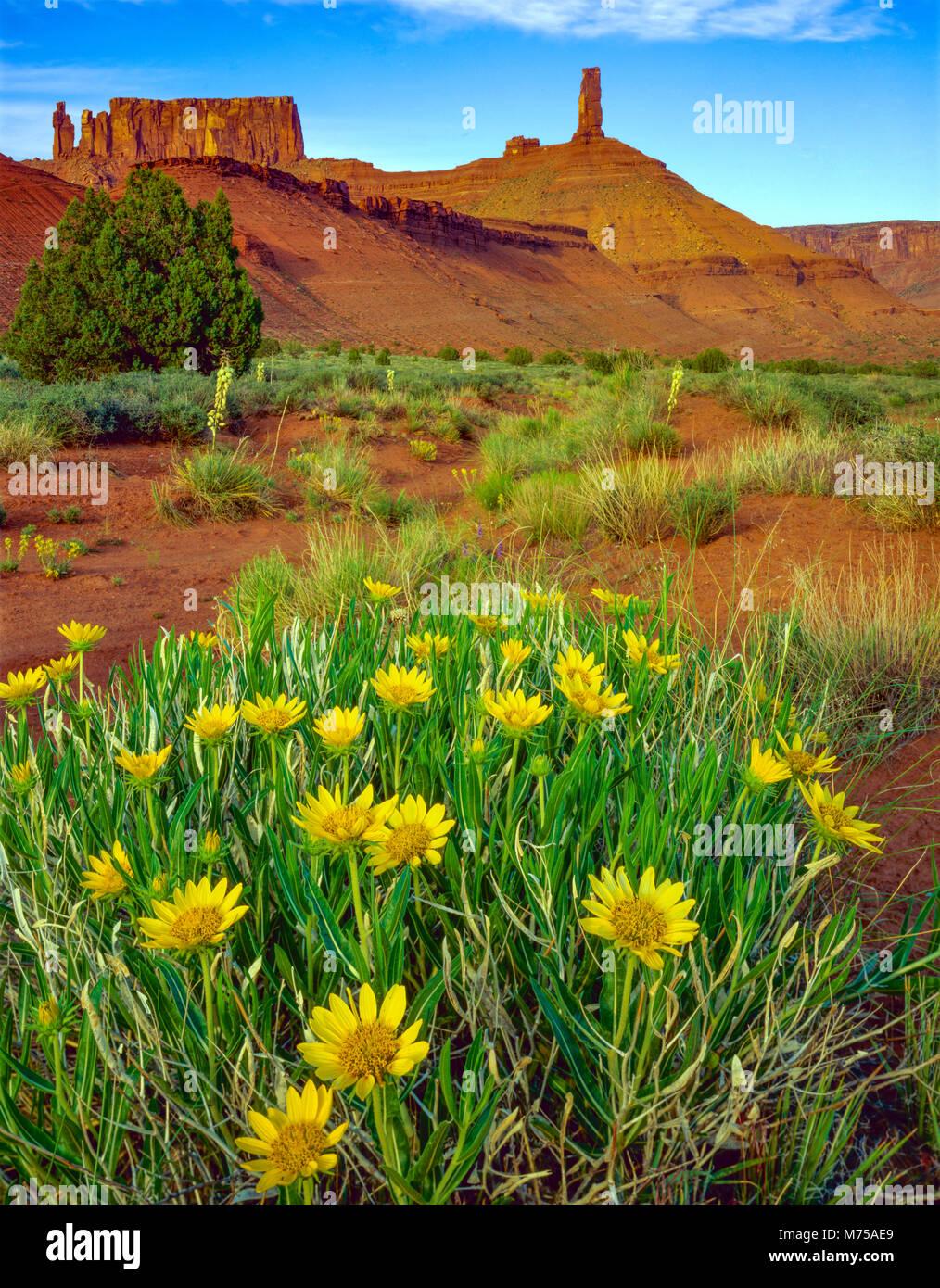 Mulo orecchie fiori, Castle Rock, Utah vicino al castello, la Valle del Fiume Colorado, Moab Foto Stock