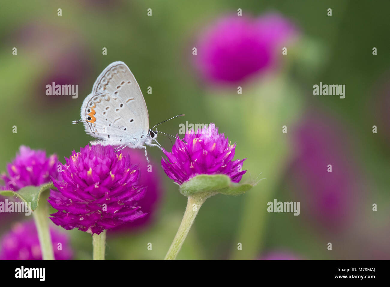 03226-01118 Tailed-Blue Orientale (Everes comyntas) sul globo terrestre Amaranto (Gomphrena globosa) Marion Co. Immagini Stock