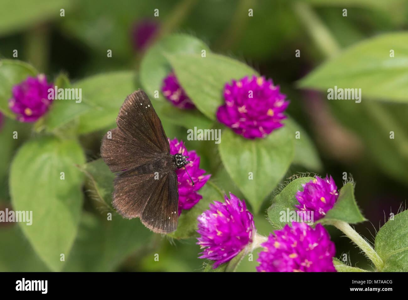 03657-00303 Sootywing comune (Pholisora Catullo) sul globo terrestre Amaranto (Gomphrena globosa) Marion Co. IL Immagini Stock