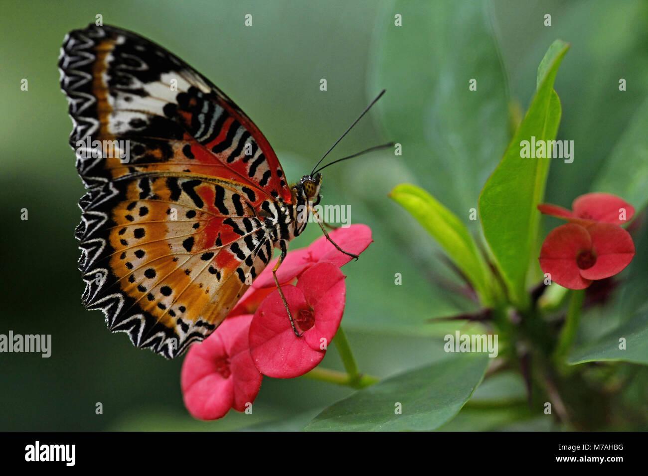 La Butterfly Garden, farfalle tropicali, Cethosia hypsea, fiori di il Cristo spike, Euphorbia milii, Immagini Stock