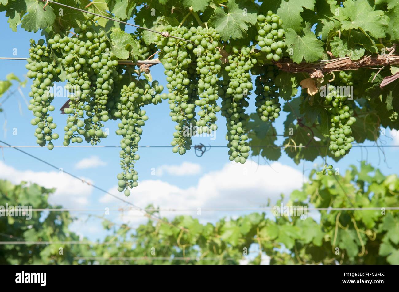 Uva appeso sulla vite, Valle di Fatima, Chilecito, La Rioja Provincia, Argentina Immagini Stock