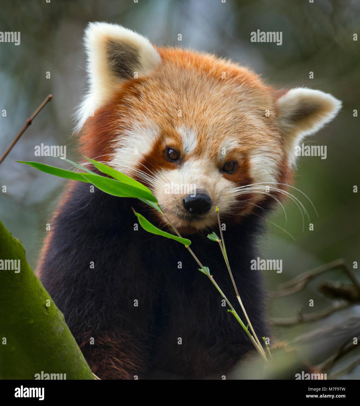 Panda rosso Ailurus fulgens Immagini Stock