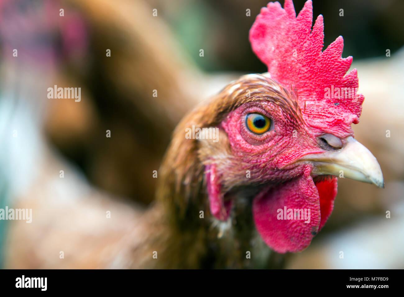 Pollo su una fattoria con un cane cercando dopo di loro Immagini Stock