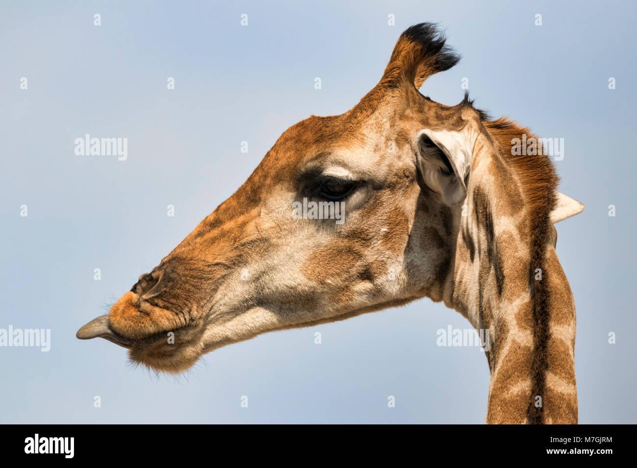 Linguetta della giraffa Immagini Stock