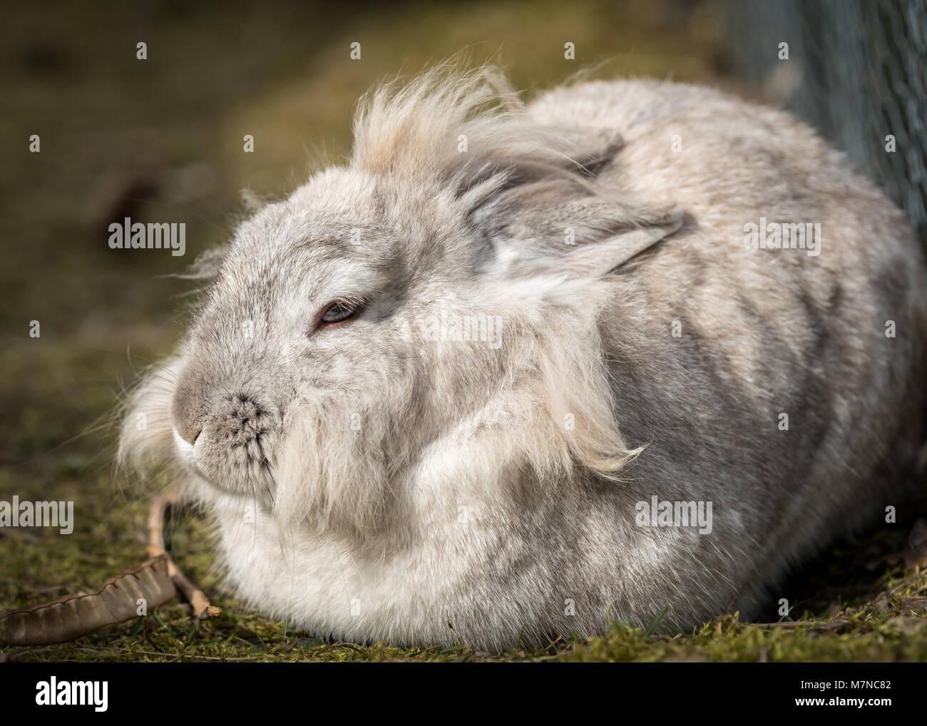 Un White Dwarf Rabbit (Lions Head) prendere un periodo di riposo Foto Stock